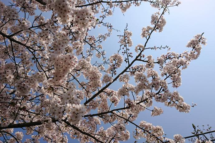 Cherry blossoms, Fukuoka Prefecture